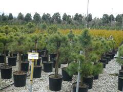 Borovice lesní - Pinus sylvestris