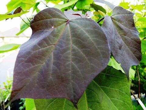 Katalpa křížená 'Purpurea' - Catalpa erubescens 'Purpurea'