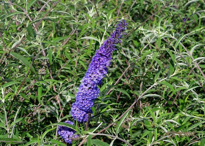 Motýlí keř, Komule Davidova 'Nanho Blue' - Buddleia davidii 'Nanho Blue'