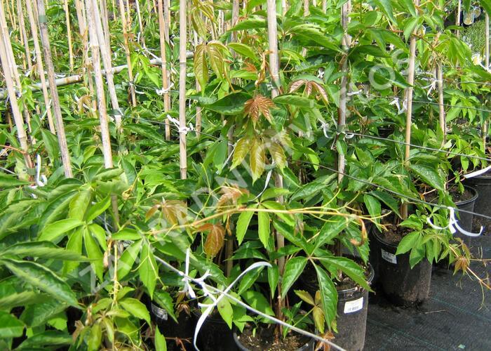 Přísavník pětilistý, loubinec 'Engelmannii' - Parthenocissus quinquefolia 'Engelmannii'