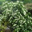 Dřín japonský - Cornus kousa