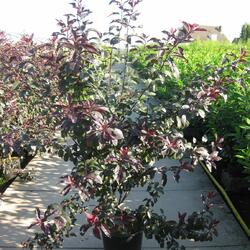 Myrobalán cistena - Prunus cistena