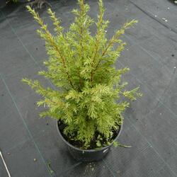 Jalovec obecný 'Suecica' - Juniperus communis 'Suecica'