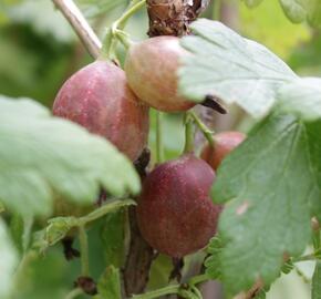 Angrešt červený beztrnný 'Spinefree' - Grossularia uva crispa 'Spinefree'