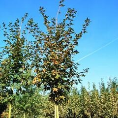 Javor kapadocký 'Rubrum' - Acer cappadocicum 'Rubrum'
