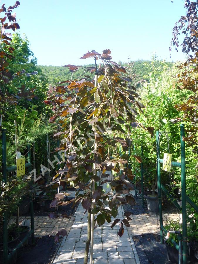 Buk lesní 'Purpurea Pendula' - Fagus sylvatica 'Purpurea Pendula'