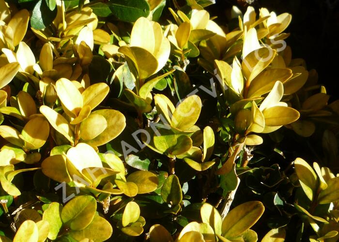 Zimostráz obecný 'Aureovariegata' - Buxus sempervirens 'Aureovariegata'