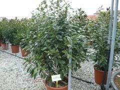 Bobkovišeň lékařská 'Novita' - Prunus laurocerasus 'Novita'