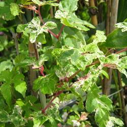 Révovník žláznatý krátkostopečný 'Elegans' - Ampelopsis glandulosa 'Elegans'