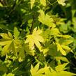 Javor dlanitolistý 'Orange Dream' - Acer palmatum 'Orange Dream'