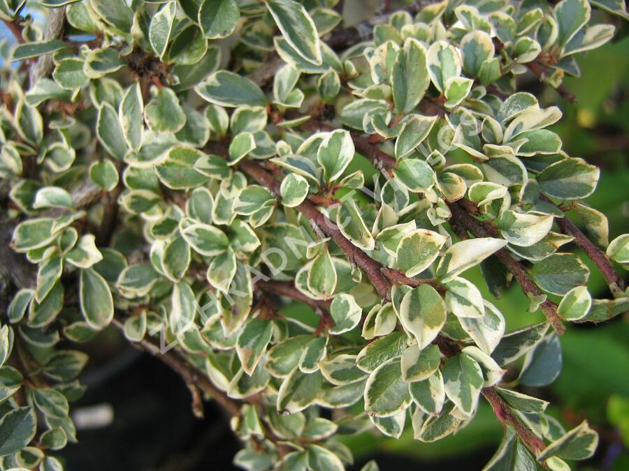 Skalník 'Variegatus' - Cotoneaster atropurpureus 'Variegatus'