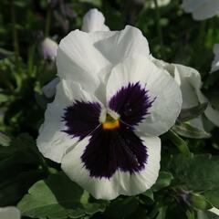Violka, maceška zahradní 'Carneval Early White with Blotch' - Viola wittrockiana 'Carneval Early White with Blotch'