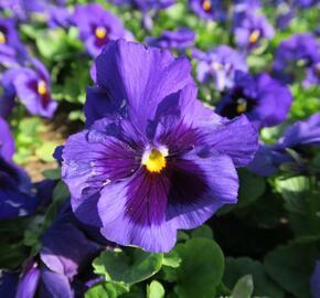 Violka, maceška zahradní 'Carneval Blue with Blotch' - Viola wittrockiana 'Carneval Blue with Blotch'