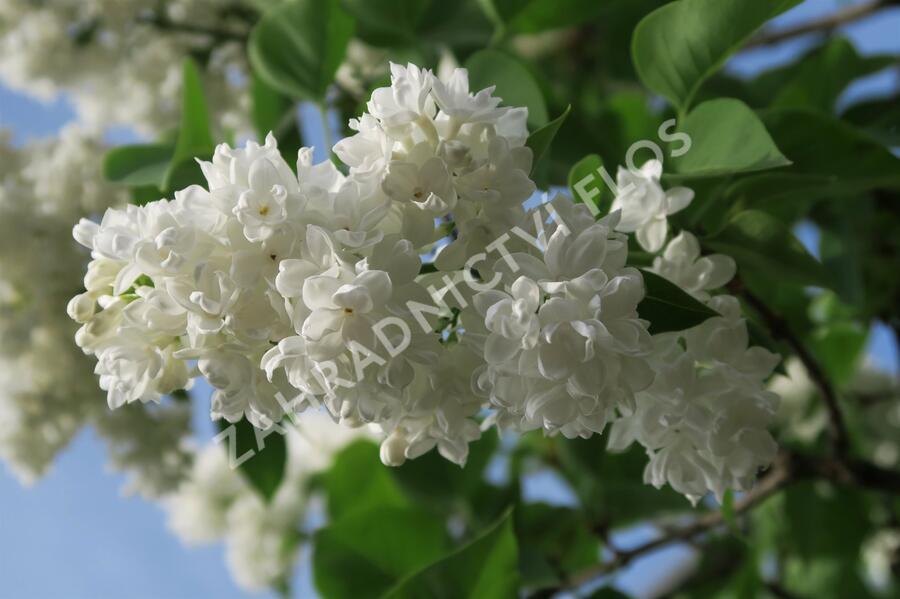 Šeřík obecný 'Madame Lemoine' - Syringa vulgaris 'Madame Lemoine'