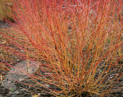 Svída krvavá 'Winter Beauty' - Cornus sanguinea 'Winter Beauty'