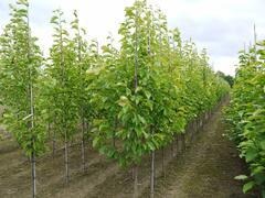 Šácholan japonský - Magnolia kobus