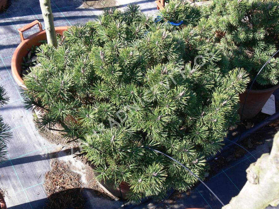 Borovice kleč 'Gnom' - Pinus mugo 'Gnom'