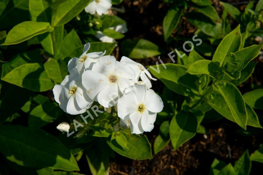 Plamenka latnatá 'Sweet Summer White' - Phlox paniculata 'Sweet Summer White'