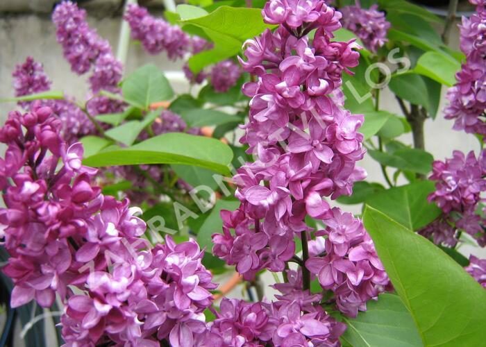 Šeřík obecný 'Charles Joly' - Syringa vulgaris 'Charles Joly'
