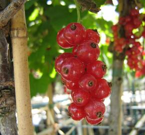 Rybíz červený 'Jonkheer van Tets' - Ribes rubrum 'Jonkheer van Tets'