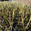 Svída výběžkatá 'Flaviramea' - Cornus sericea 'Flaviramea'