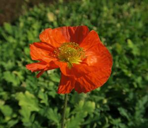 Mák lysý 'Panama mix' - Papaver nudicaule 'Panama mix'