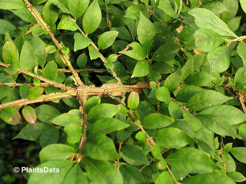 Brslen křídlatý - Euonymus alatus