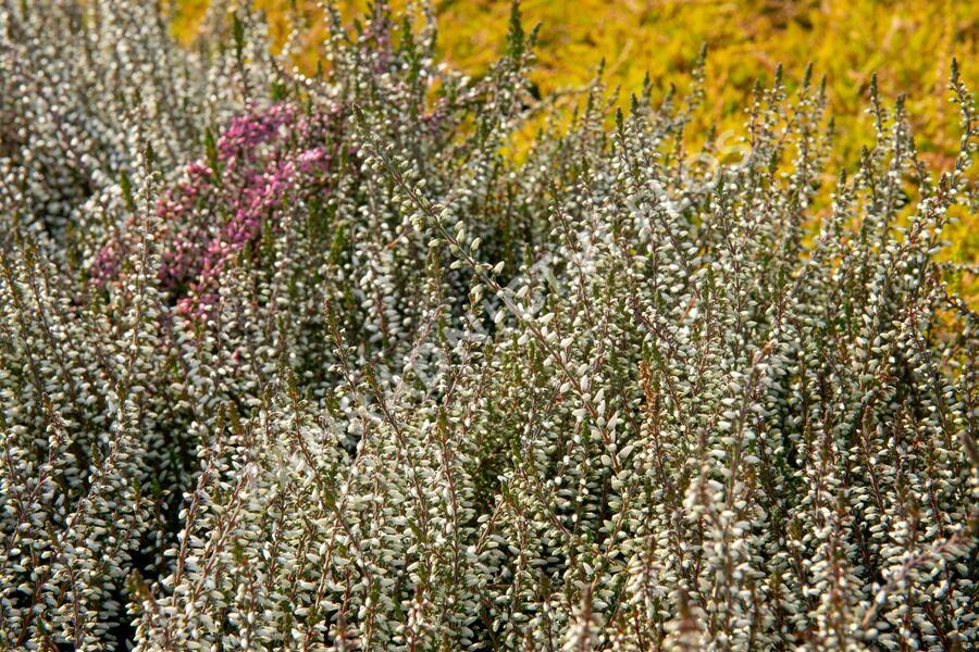 Vřes obecný 'Weisse Lena' (Garden girls®) - Calluna vulgaris 'Weisse Lena' (Garden girls®)