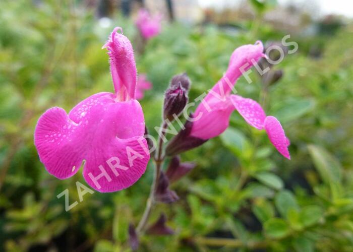 Mydlice bazalkovitá 'Jabora' - Saponaria ocymoides 'Jabora'