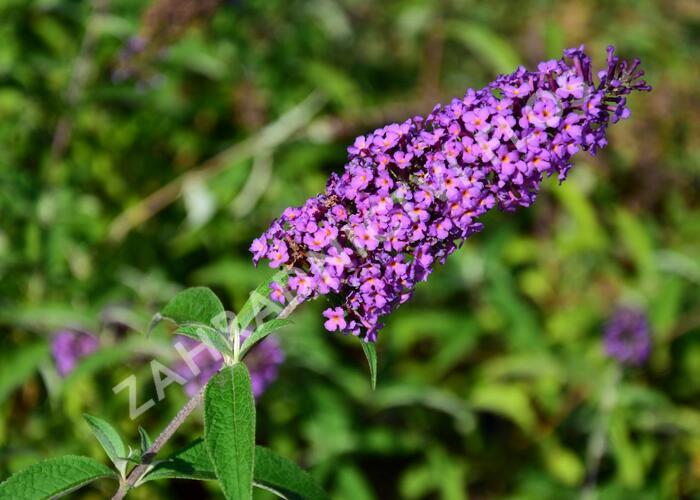 Motýlí keř, Komule Davidova 'Ile de France' - Buddleia davidii 'Ile de France'