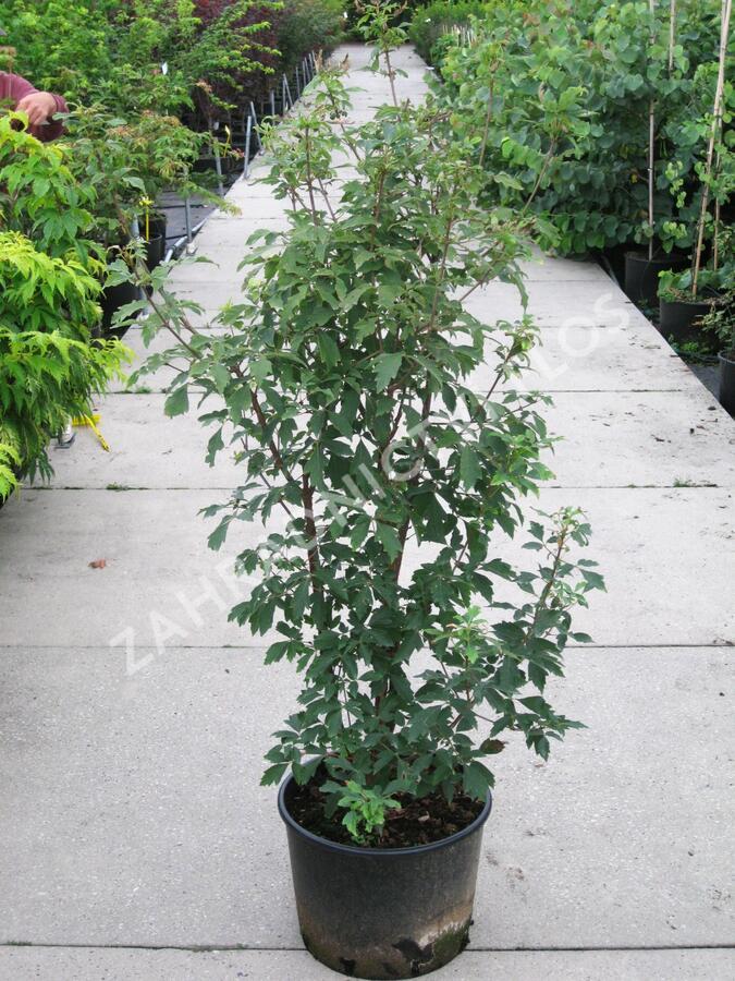Javor šedý - Acer griseum