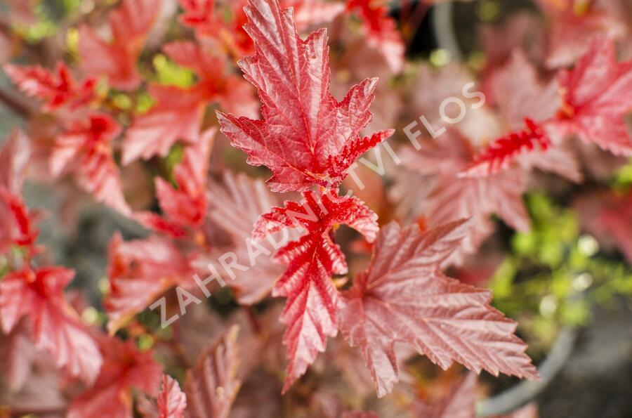 Tavola kalinolistá 'Lady in Red' - Physocarpus opulifolius 'Lady in Red'