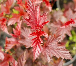 Tavola kalinolistá 'Lady in Red' - Physocarpus opulifolius 'Lady in Red'
