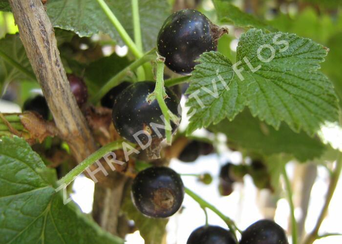 Rybíz černý 'Titania' - Ribes nigrum 'Titania'