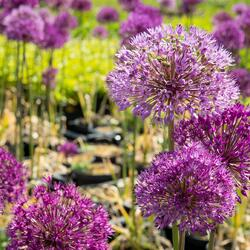 Okrasný česnek aflatunský 'Purple Sensation' - Allium aflatunense 'Purple Sensation'