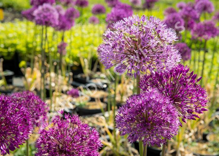 Okrasný česnek aflatunský 'Purple Sensation' - Allium aflatunense 'Purple Sensation'