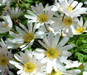 Sasanka vábná 'White Splendour' - Anemone blanda 'White Splendour'