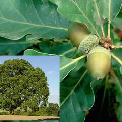 Dub zimní - Quercus petraea
