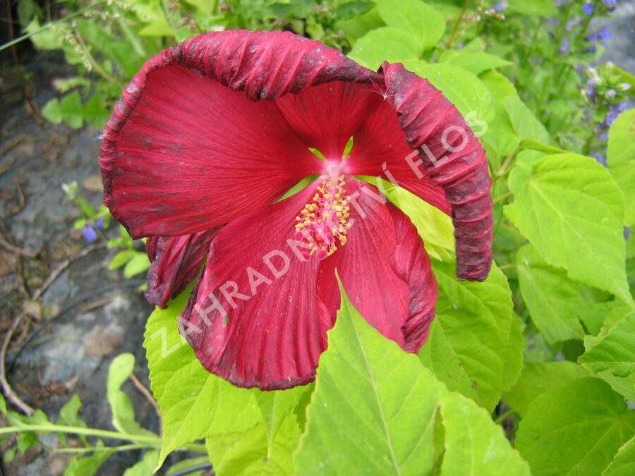 Ibišek bahenní 'Nippon Red' - Hibiscus moscheutos 'Nippon Red'