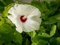 Ibišek bahenní 'Old Yella' - Hibiscus moscheutos 'Old Yella'