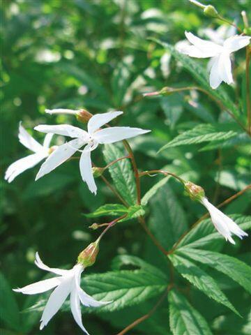 Trubučka trojlistá - Gillenia trifoliata
