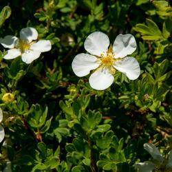 Mochna křovitá 'White Lady' - Potentilla fruticosa 'White Lady'