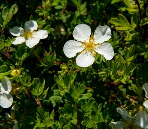Mochna křovitá 'White Lady' - Potentilla fruticosa 'White Lady'