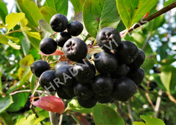 Temnoplodec černoplodý 'Nero' - Aronia melanocarpa 'Nero'
