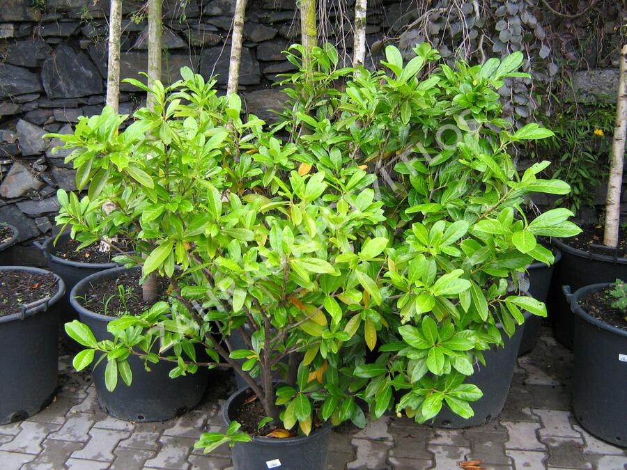 Bobkovišeň lékařská 'Caucasica' - Prunus laurocerasus 'Caucasica'