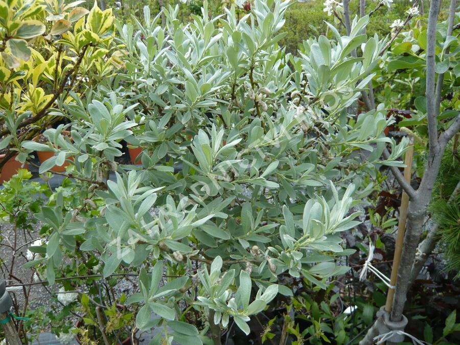 Vrba švýcarská - Salix helvetica