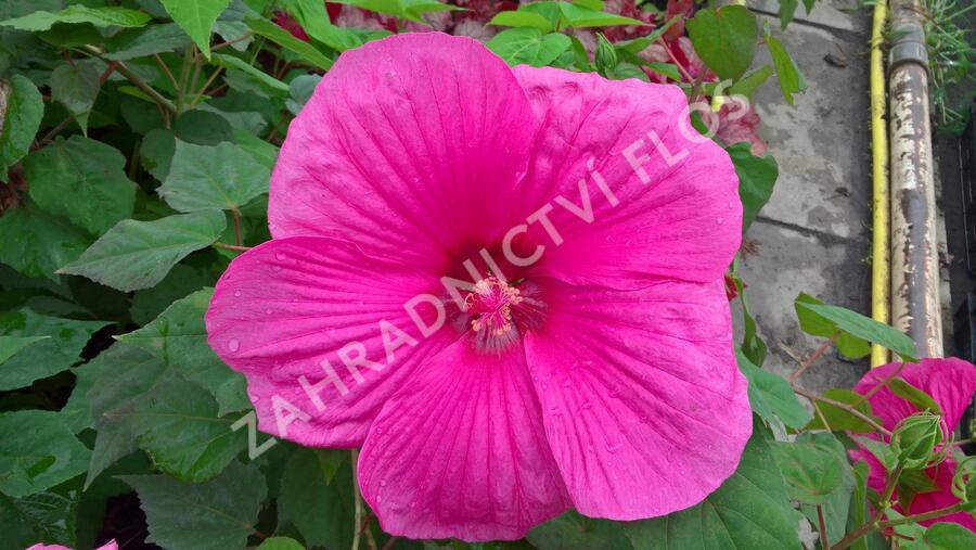 Ibišek bahenní 'Plum Crazy' - Hibiscus moscheutos 'Plum Crazy'