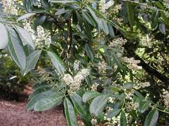 Bobkovišeň lékařská - Prunus laurocerasus