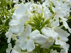 Plamenka latnatá 'Fujiyama' - Phlox paniculata 'Fujiyama'