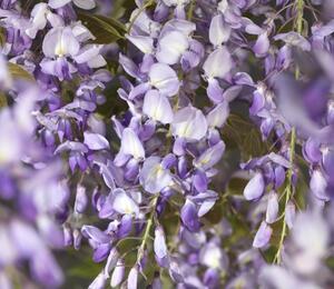 Vistárie čínská 'Prolific' - Wisteria sinensis 'Prolific'
